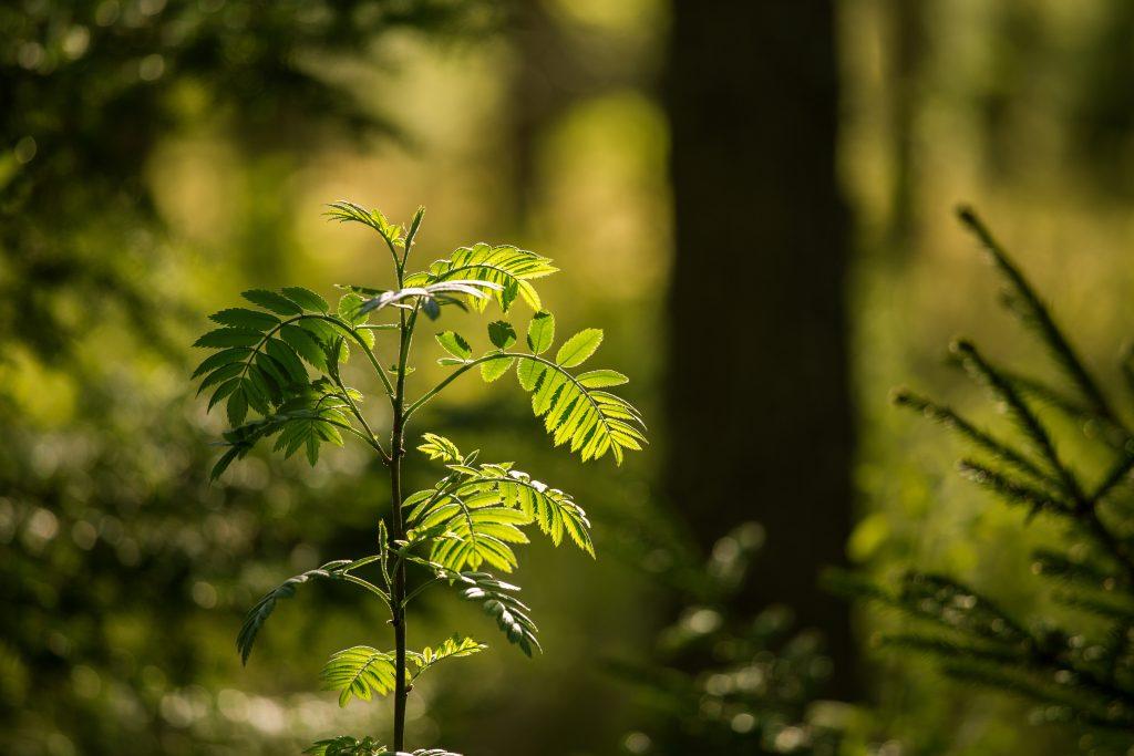 nuori pihlaja metsässä