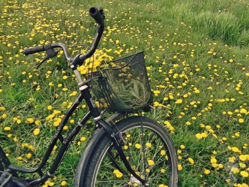 Elämyksiä valmistellessa: voikukkapelto ja polkupyörä