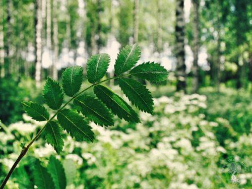 Villipihlaja metsässä